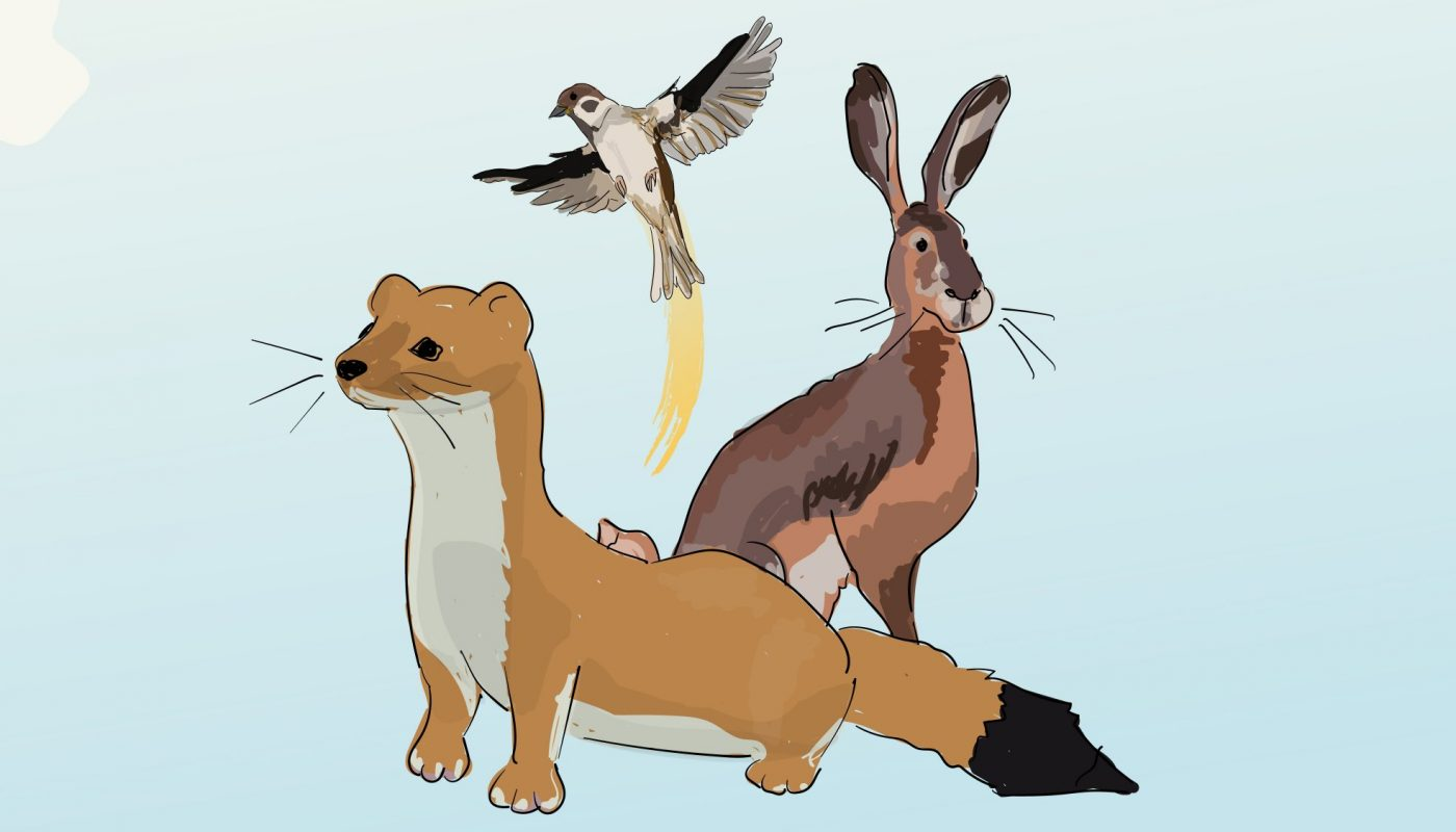 Illustration of a stoat, hare and bird